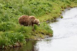Bear Hunts